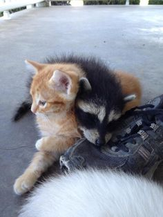 My friends cat is raising an abandoned raccoon with its kittens. Kittens Cutest, Cute Cats, Animals And Pets, Baby Animals, Happy Puppy, Cute Little Animals, Fauna, Animal Memes, Mammals
