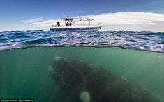 A southern right whale, around 45 feet in length,  looming under a very dainty-looking boa...