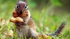 download hd wallpapers of squirrals 688