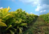 The tobacco industry has traditionally been one of the most important industries in North Carolina and a backbone of the state's agricultura...