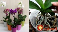 Skúsení pestovatelia radia: Stačí urobiť toto a orchidea zo supermarketu rozkvitne aj v januári! Home And Garden, House Plants, Plants, Garden, Orchids, Flowers Nature, Nature, Clematis
