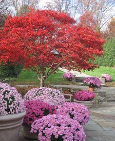 beautiful fall garden | Brookside Gardens Japanese maple