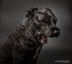 Whooaaa - Portrait of a cute black dog, a Bouvier des Flandres Sleepy Animals, Sleepy Dogs, M Image, Malinois, Gray Background, Cattle, Stock Photos, Portrait, Grey