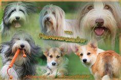 """Hütehunde mit Schmunzelfaktor"" Bearded Collie, Welsh Corgi Pembroke, Corgis, Animals, Puppys, Animales, Animaux, Corgi, Animal"