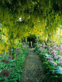 Golden Laburnum Walkway, Golden Chain Tree Information on Growing, and Training to Form an Arch.