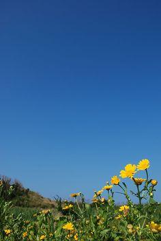 あまりにもブルーな空、仰ぎ見る黄色い花は、太陽の光が眩しそう。