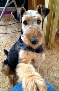 Great looking Airedale - so sweet.