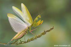Praying Mantis in defense pose