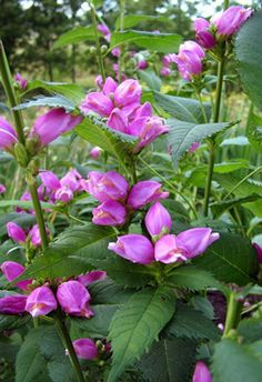 Chelone obliqua  ---  A taller turtlehead with mauve or lilac -pink blooms. Grows 3ft. by 2 ft. I've found it more vigorous & spreading than chelone lyonii. It also needs less water & more sun. Both are great for butterflies & hummingbirds. z. 4-9