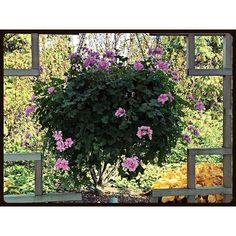 """#flowers #basket #hanging #window #mothernature #design #landscape #garden #botanic #plant #porch #deck #sunroom #balcony #Chicago #suburbs #rectangle #cross"" Photo taken by @akaaki157 on Instagram, pinned via the InstaPin iOS App! http://www.instapinapp.com (11/02/2015)"