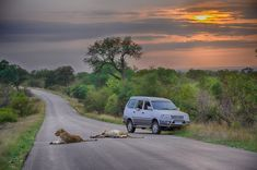 Lions at Sunrise on the near Orpen Camp Kruger National Park, National Parks, Elephant Walk, Big Game Hunting, Wild Dogs, African Safari, Animals Images, Cool Landscapes, Africa Travel