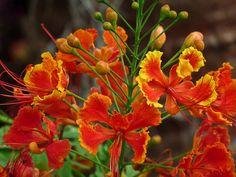 Dwarf Poinciana, photo by Anne Elliot  I was named after this flower :P