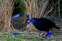 Satin Bowerbird (Ptilonorhynchus violaceus) male at his bower. : BOWERBIRDS : Environmental Photographs: Wildlife Photojournalist Tim Laman, Tim Laman