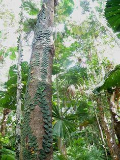 Rhaphidophora hayi