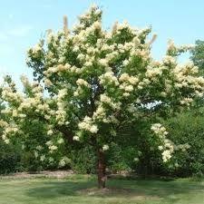 "Nuxia floribunda ""forest elder"" - Google Search"