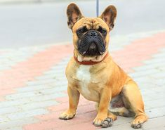 Learn all about the French Bulldog Breed - History, Stats, Health & More! French Bulldog Breed, French Bulldog Facts, Bulldog Breeds, Bulldog Puppies, French Bulldogs, Puppies Puppies, English Bulldogs, Medium Sized Dogs, Medium Dogs