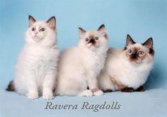 Ravera Ragdolls - NSW Aust