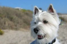 10 REASONS WESTIES ARE THE BEST DOG YOU'VE EVER HAD