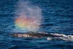 by   Xue Bai -           A rainbow is seen when a humpback whale blows the water during its migrating journey to Antarctic passing Cape Moreton waters near Brisbane, Australia