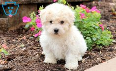 This is a precious Bichon puppy who enjoys playing with his siblings and good belly rubs! Teacup Bichon Frise, Bichon Puppies For Sale, Teacup Chihuahua Puppies, Boxer Puppies, Dogs And Puppies, Cute Puppy Pictures, Labrador Retriever Dog, Bull Terrier Dog, Cats And Kittens