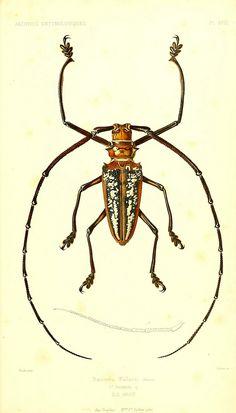 Batocera wallacei from  Archives entomologiques, James Archives, ou, Recueil contenant des illustrations d'insectes nouveaux ou rares par James Thomson. Published 1857 (by BioDivLibrary)