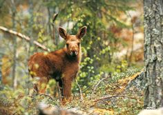 baby moose!