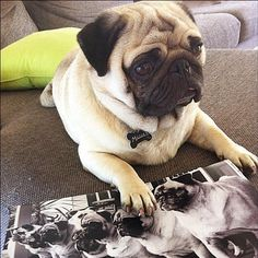 See that pug? I know him.