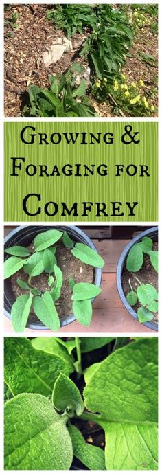 Growing and Foraging for Comfrey~ The permaculture and medicinal wonder plant! www.growforagecookferment.com