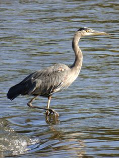 Great Blue Heron at Side Cut Park, Maumee, Ohio, Oct, 2014.