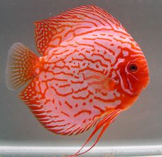 discus fish | Diskusfisch Pigeon Blood Blau/Rot Mix 6,5cm