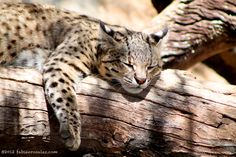 Wildcat at Mendoza Zoo, Argentina