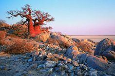 Baobab Kalahari