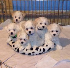 Custard & Prince's puppies....the color will fade w/their adult coats