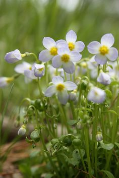 bluets ~ the first woodland flowers of spring
