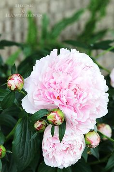 Tips on how to grow peonies. Everything from soil conditions to USDA Plant Hardi… Tips on how to grow peonies. Everything from soil conditions to USDA Plant Hardiness Zones to ants. Includes how to cut peonies for flower arrangements. Flowers Perennials, Planting Flowers, Flower Gardening, Flowers Garden, Summer Flowers, Outdoor Plants, Garden Plants, Growing Peonies, How To Grow Peonies