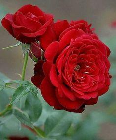 Beautiful Rose Flowers, Pretty Roses, Love Rose, Exotic Flowers, Pretty Flowers, Best Flower Pictures, Rose Pictures, Good Night Love Images, Rose Images