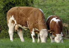 simmental cattle - Google Search