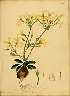 v.3-4 - The botanist's repository, for new and rare plants : - Biodiversity Heritage Library