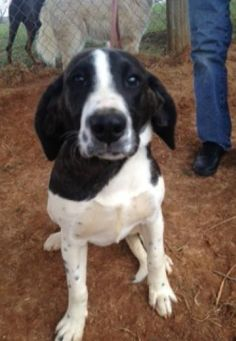 Bluetick Coonhound mix F 7 months 50 lbs. named Posy in Upperco, MD @ Bourbon County Rescue 907-602-9670 blackdogs@me.com