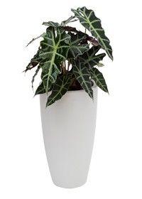 Moderne en trendy alocasia plant en pot, heel hip!
