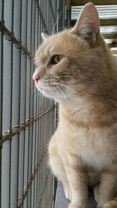 Colt came to us as a stray. He is quite vocal and affectionate. It appears he quite enjoys being outside as he spends a lot of his time in the outside part of the cat communal. Colt doesn't seem to mind other cats, ignoring them most of the time. Come meet this big creamy ginger kitty at the BC SPCA South Okanagan-Similkameen Branch!
