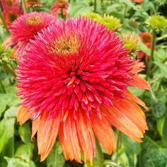 Coneflower 'Double Scoop Orangeberry'; Echinacea 'Double Scoop Orangeberry', (perennial)