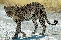 Nombreux sont ceux qui se trompent en désignant le léopard et le guépard. Astuce : le pelage fauve du guépard est marqué par des ronds noirs. Des anneaux de la même couleur ornent l'extrémité de sa queue. Deux larges lignes noires relient le coin interne de ses yeux aux commissures de ses lèvres.  Photo : un léopard