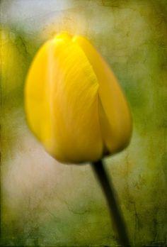 Nieuw in mijn Werk aan de Muur shop: Gele tulp, lente