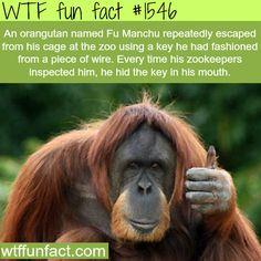 An orangutan, Fu Manchu (Animals fact) -wtf fun facts