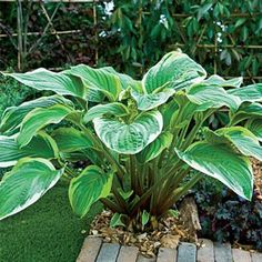 Huge hosta is simply magnificent! One of the tallest hosta available, Fragrant Fire's glossy, variegated leaves grow up to 3'. Stems are reddish at the base for added colour. White blooms are sweetly fragrant in summer. Just as hearty and easy to grow as common hosta.