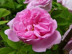 damascena bifera/rose des 4 saisons. R. talos