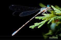 Google Image Result for dragonfly