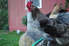 Rhino, the alpha rooster