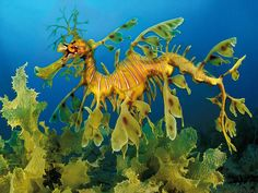 leafy sea dragon full grown | Ciencia Naturaleza Tecnología Ser humano Salud Revista Vídeos Blogs